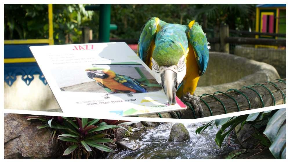 Le perroquet JAZZ au jardin botanique de Deshaies en Guadeloupe